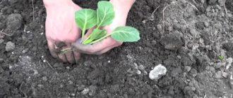 Когда сажать раннюю капусту на рассаду