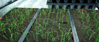 Когда сеять лук семенами на рассаду