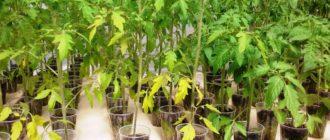 Почему желтеет рассада помидоров