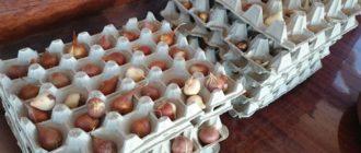 Хранение луковиц тюльпанов в зимнее время