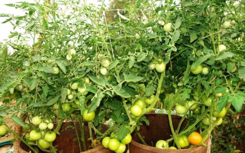 Посадка помидоров в бочке