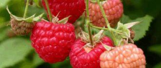 Малина, уход и выращивание
