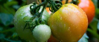 Почему не зреют помидоры