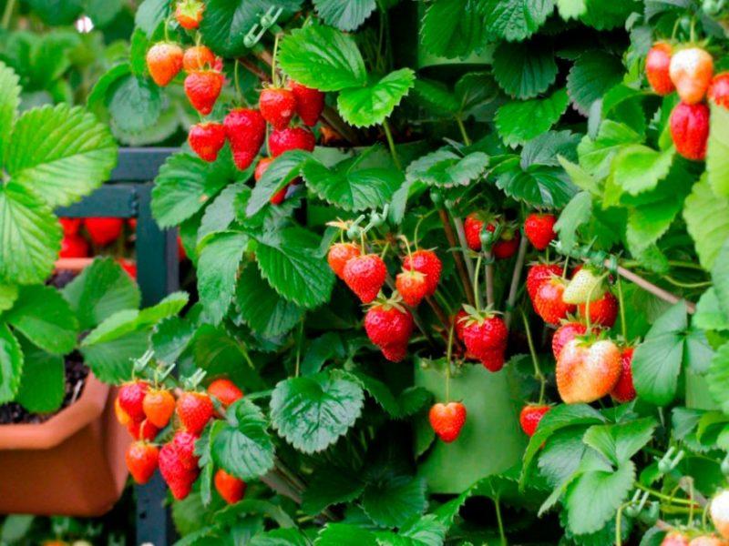 Условия выращивания клубники