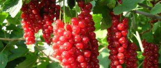 Выращивание красной смородины