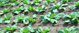 Как правильно высаживать капусту в грунт