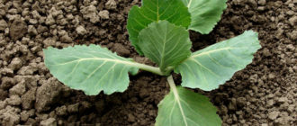 Капуста выращивание и уход в открытом грунте, болезни капусты
