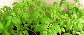 Подробно о выращивание рассады помидоров