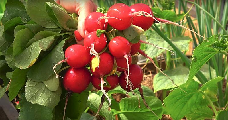 Правильная посадка редиса весной в открытый грунт семенами