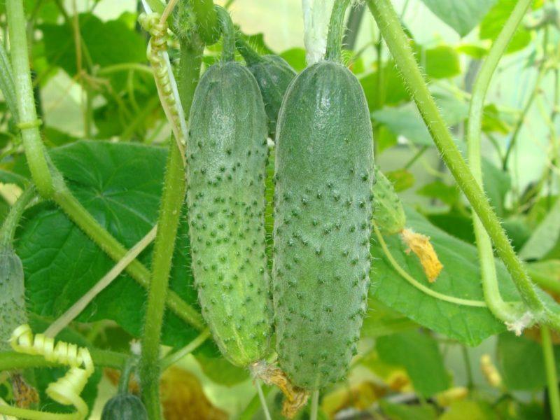 Условия выращивания огурцов