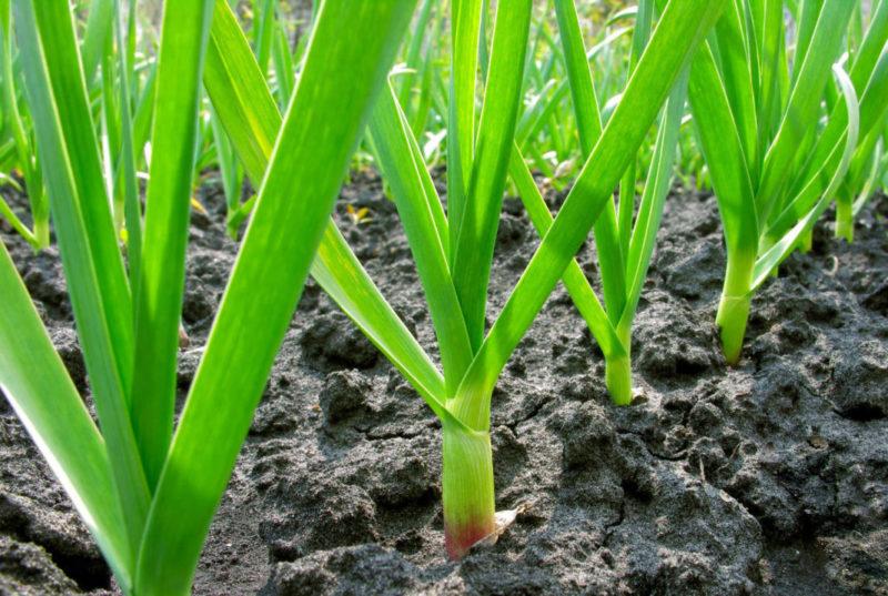 Выращивание ярового и озимого чеснока, технология посадки и ухода за чесноком в открытом грунте