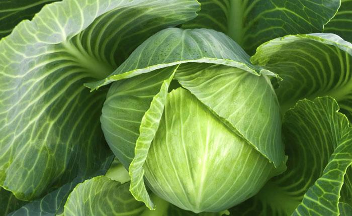 Все о капусте, разновидности капусты и методы выращивания и ухода за капустой в открытом грунте
