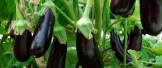 Баклажаны выращивание и уход