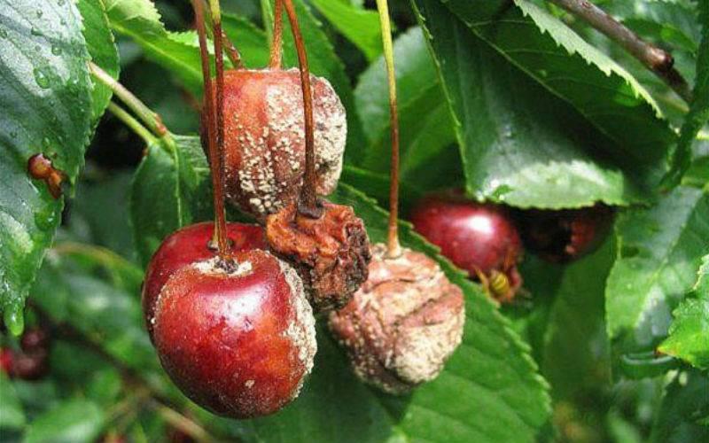 Вредители и болезни вишни способы борьбы с ними