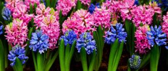 гиацинт цветок фото