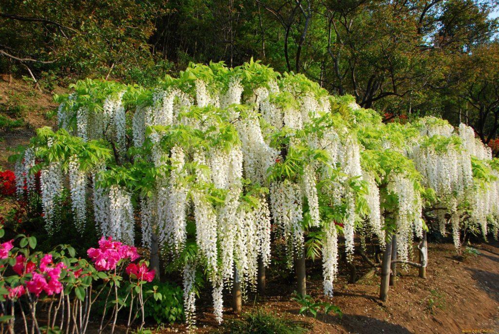 японская глициния белая