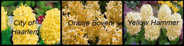 Желтые и оранжевые гиацинты