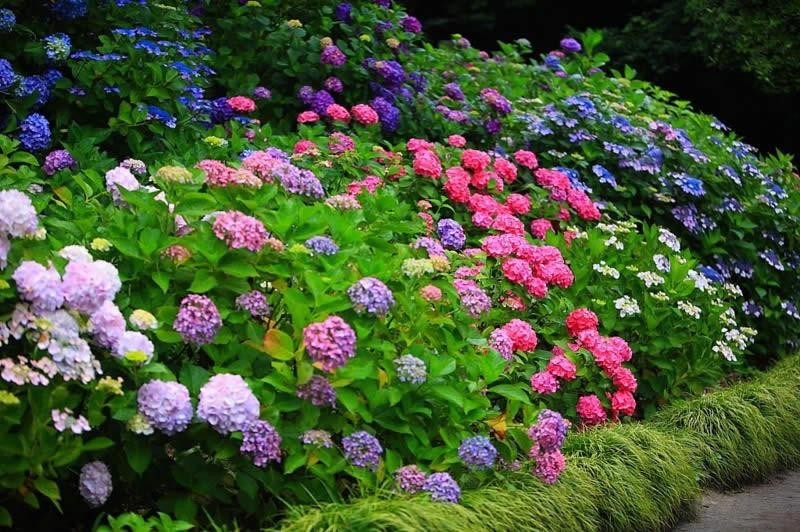 Гортензия садовая композиция