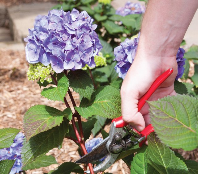 Гортензия садовая: посадка, уход, подкормка, размножение, обрезка