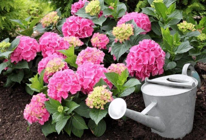 Гортензия садовая полив