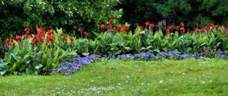 Цветы Канны: уход, выращивание дома и на улице, хранение