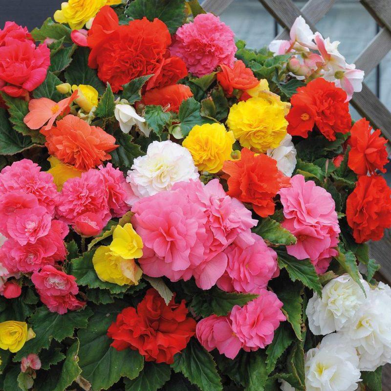 бегония цветок в саду фото
