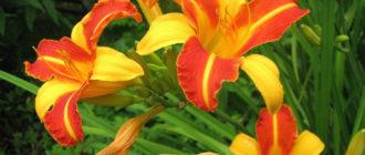 лилейник цветок фото картинка