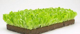 Нетрадиционные способы выращивания салата