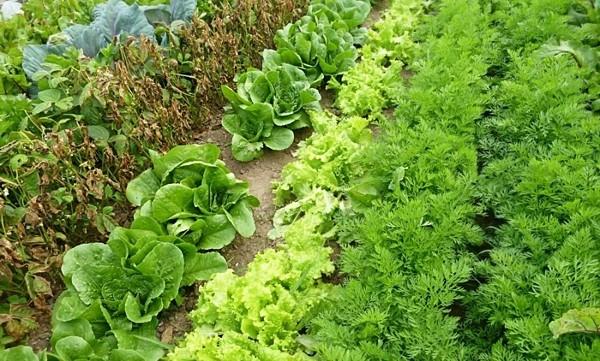 секреты выращивания салата