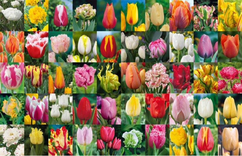 сорта тюльпанов, классификация