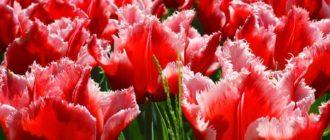 Тюльпаны сорта тюльпанов, классификация, посадка и уход в открытом грунте, удобрения для тюльпанов, хранение луковиц тюльпанов