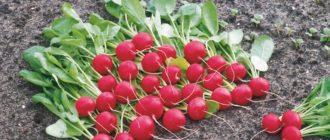 Выращивание редиса фото