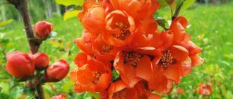 Декоративные кустарники цветущие весной фото