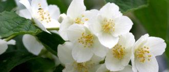 Многолетние кустарники цветущие все лето