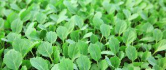 Рассада капусты Как вырастить рассаду капусты в домашних условиях, подкормка и закаливание рассады