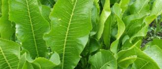 Выращивание хрена, как вырастить хрен на огороде
