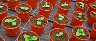 Выращивание рассады цветов из семян