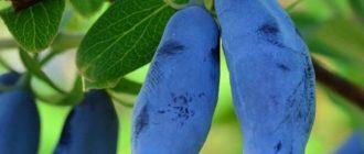 Жимолость, посадка жимолости, размножение жимолости, борьба с вредителями