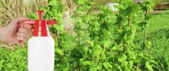 Боремся с вредителями смородины без применения химических препаратов