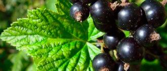 Черная смородина уход и размножение, сорта черной смородины фото
