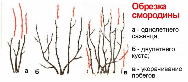 обрезка красной смородины весной для начинающих в картинках пошагово действия